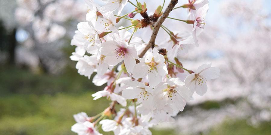 桜のはちみつ
