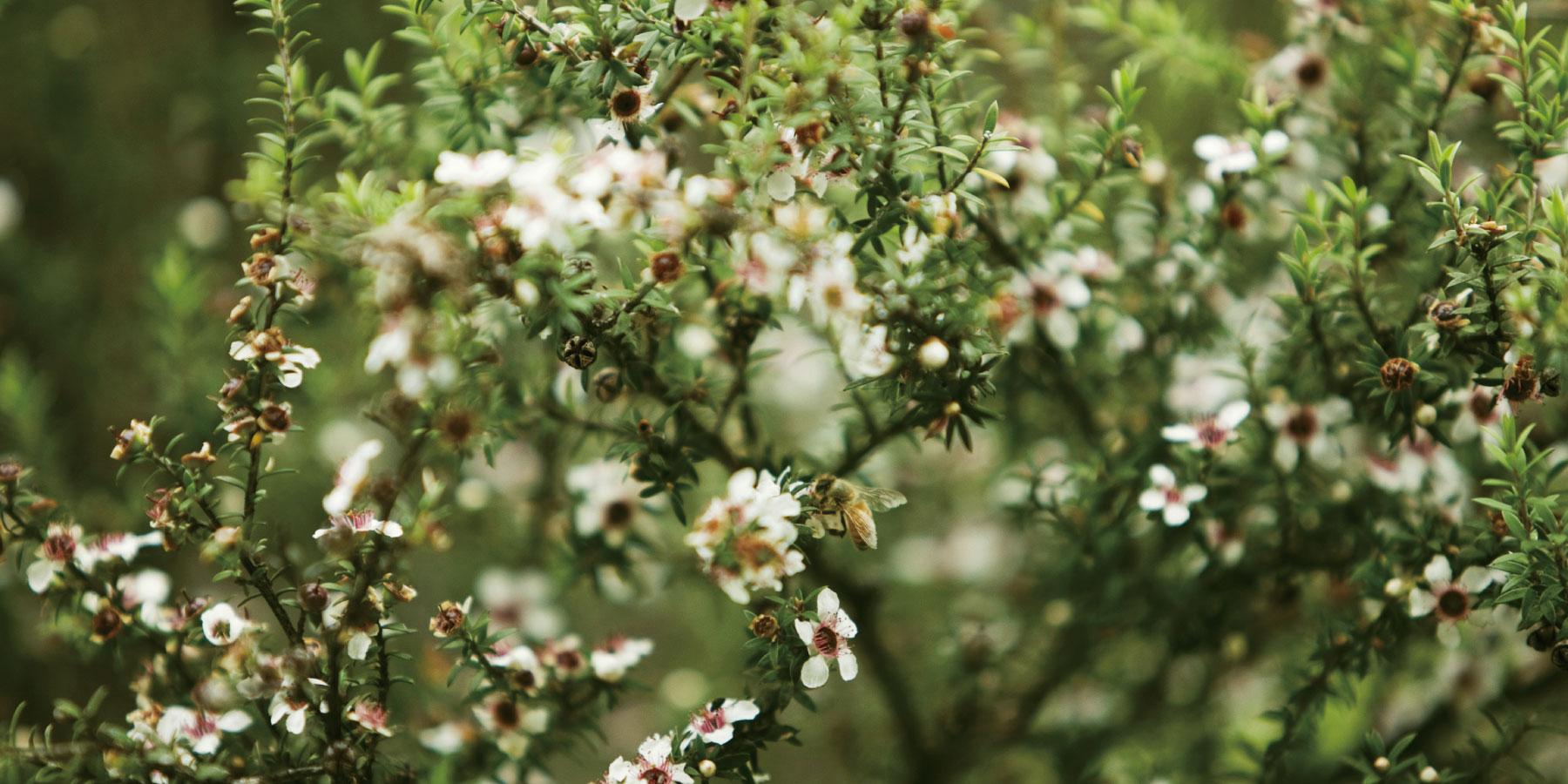 マヌカの花イメージ